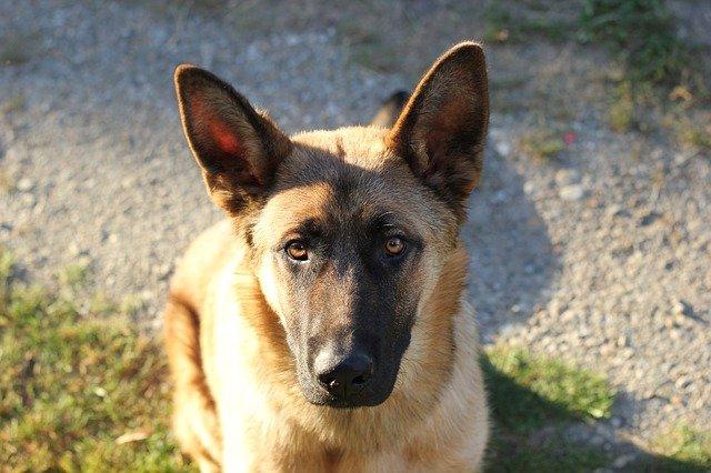 TOP 4 plemena psů, kteří váš dům ochrání před zloději